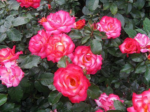 Roses 021