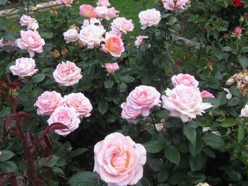 Roses 025