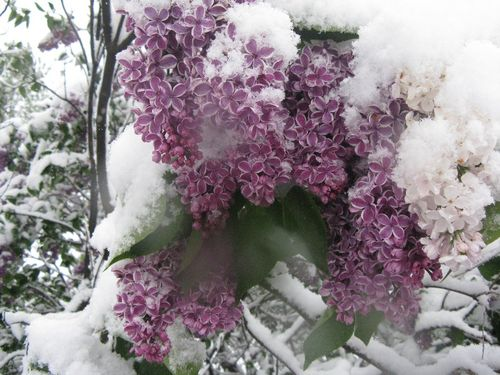 Lilacs 006