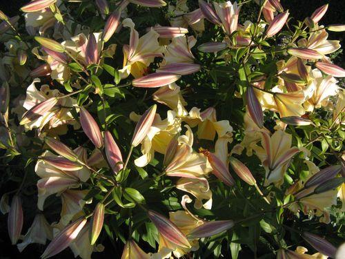 Lilies 012